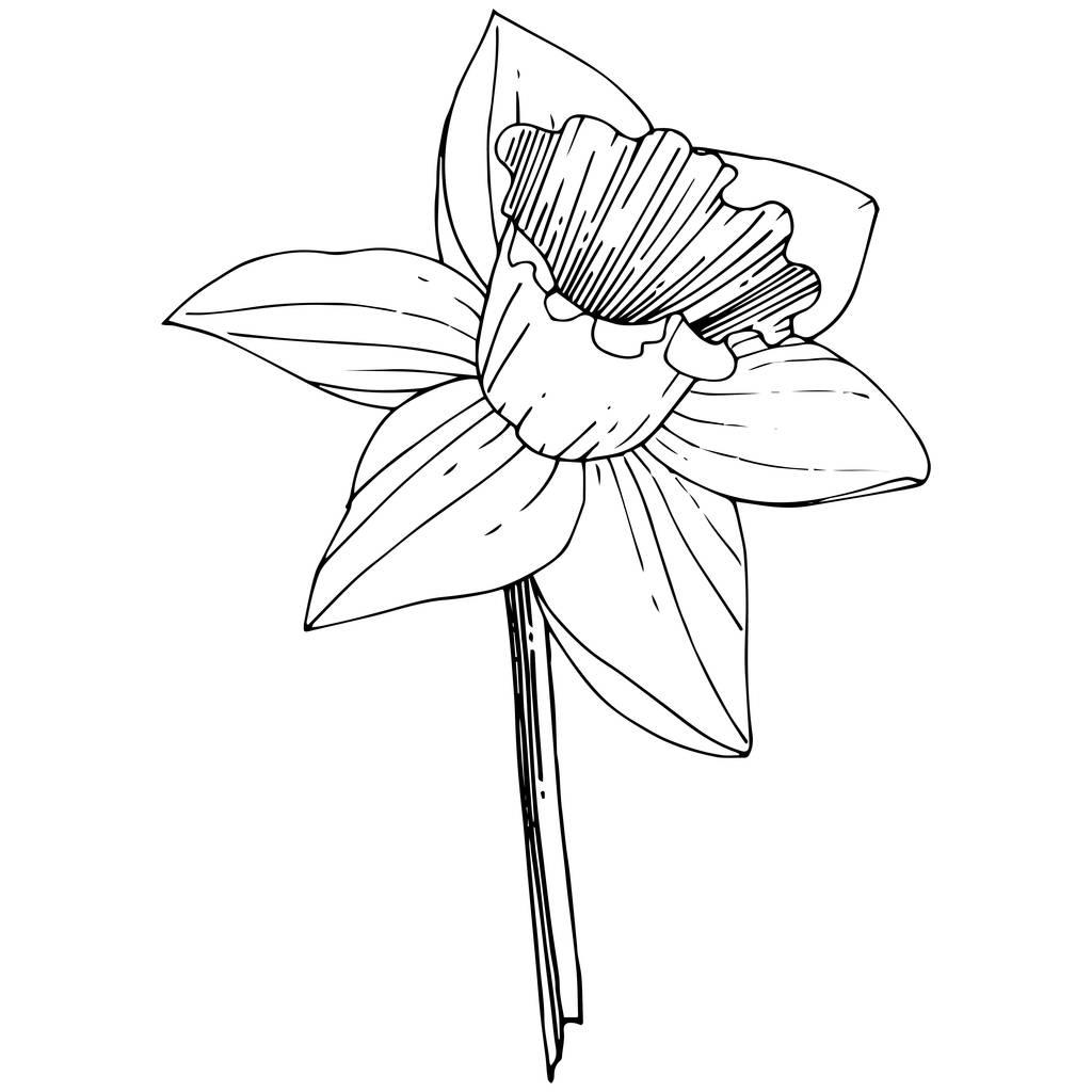 Vector Narcissus flower. Floral botanical flower. Black and white engraved ink art. Isolated narcissus illustration element on white background.