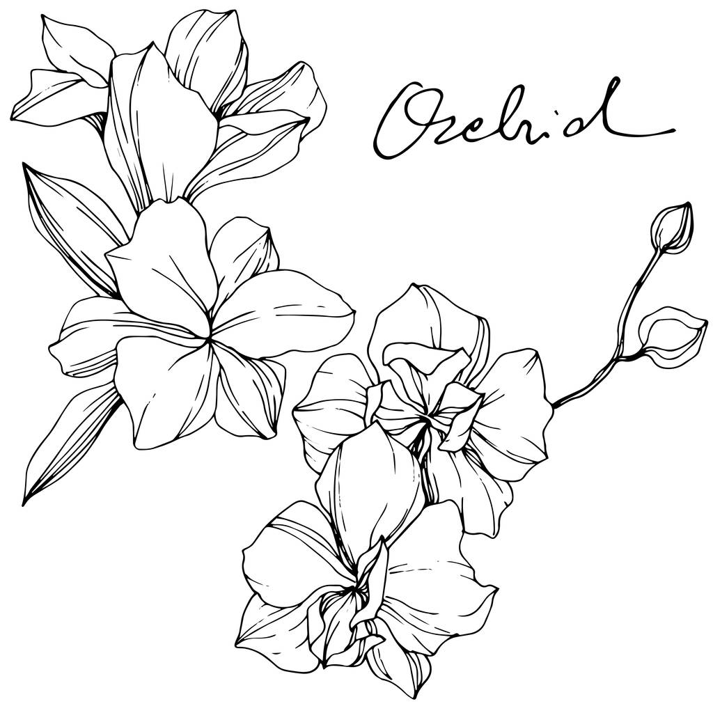 Beautiful orchid flowers. Black and white engraved ink art. Isolated orchids illustration element on white background.