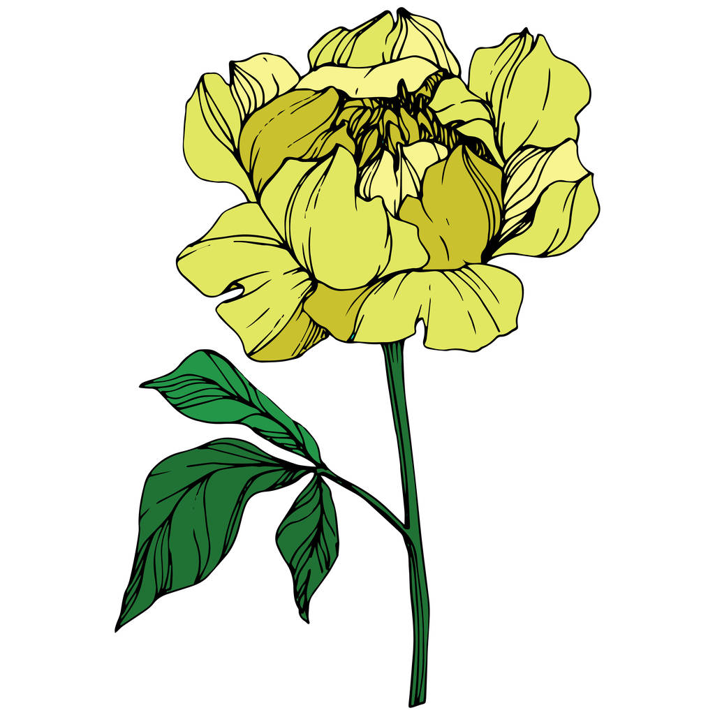 Vector isolated yellow peony flower with green leaves on white background. Engraved ink art.