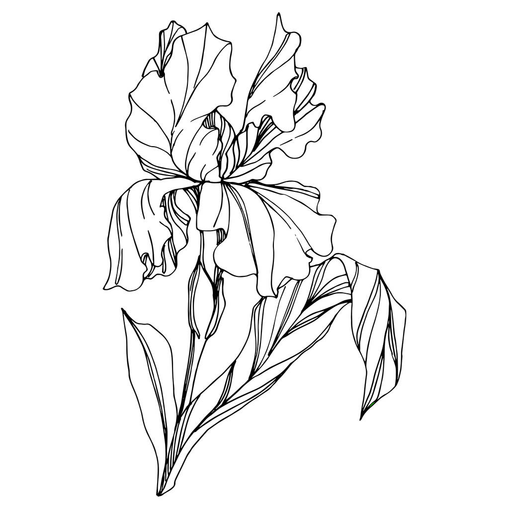 Vector Iris floral botanical flower. Wild spring leaf wildflower isolated. Black and white engraved ink art. Isolated iris illustration element on white background.