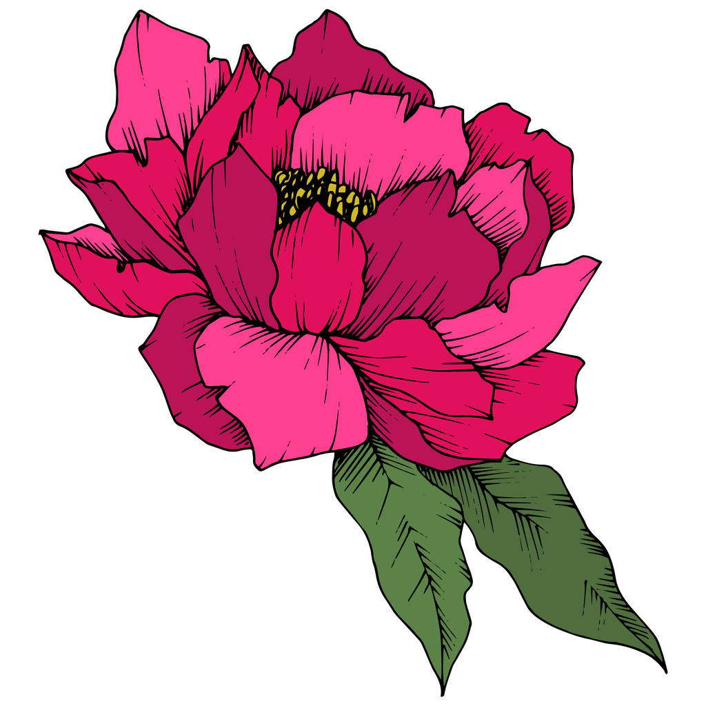 Vector Pink Peony floral botanical flower. Wild spring leaf wildflower isolated. Engraved ink art. Isolated peony illustration element on white background.