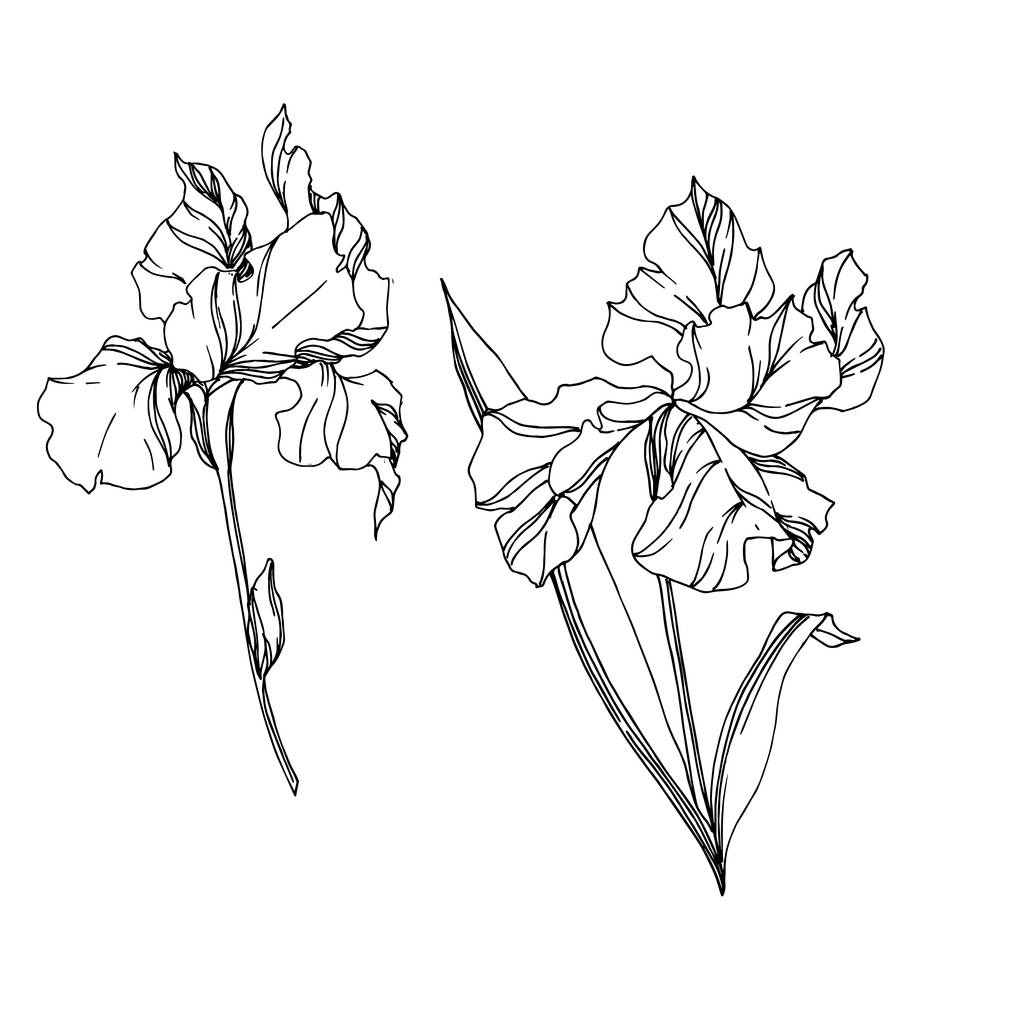 Vector Iris floral botanical flowers. Wild spring leaf wildflower isolated. Black and white engraved ink art. Isolated irises illustration element on white background.