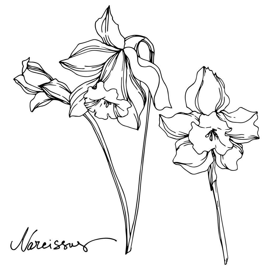 Vector Narcissus floral botanical flower. Wild spring leaf wildflower isolated. Black and white engraved ink art. Isolated narcissus illustration element on vhite background.
