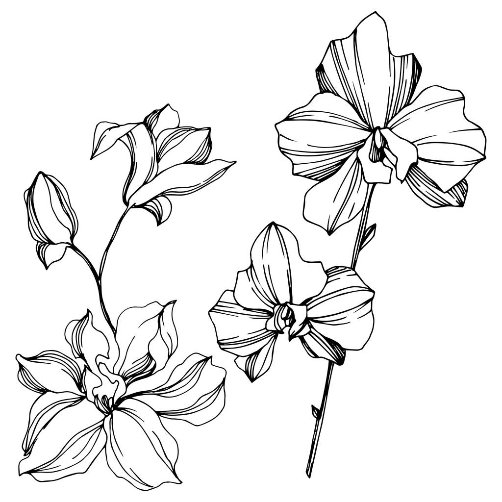 Orchid floral botanical flowers. Wild spring leaf wildflower isolated. Black and white engraved ink art. Isolated orchids illustration element on white background.