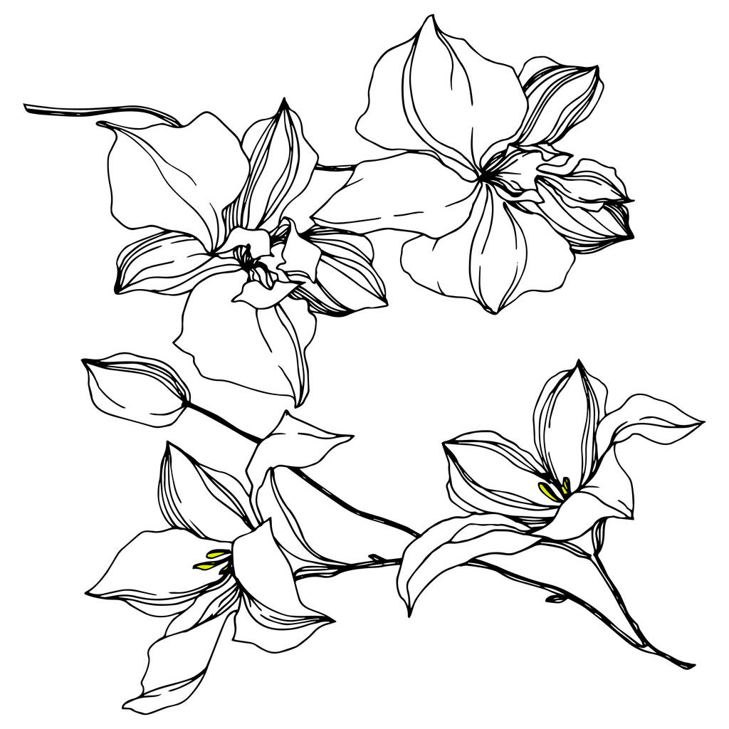 Vector Orchid floral botanical flowers. Wild spring leaf wildflower isolated. Black and white engraved ink art. Isolated orchids illustration element on white background.
