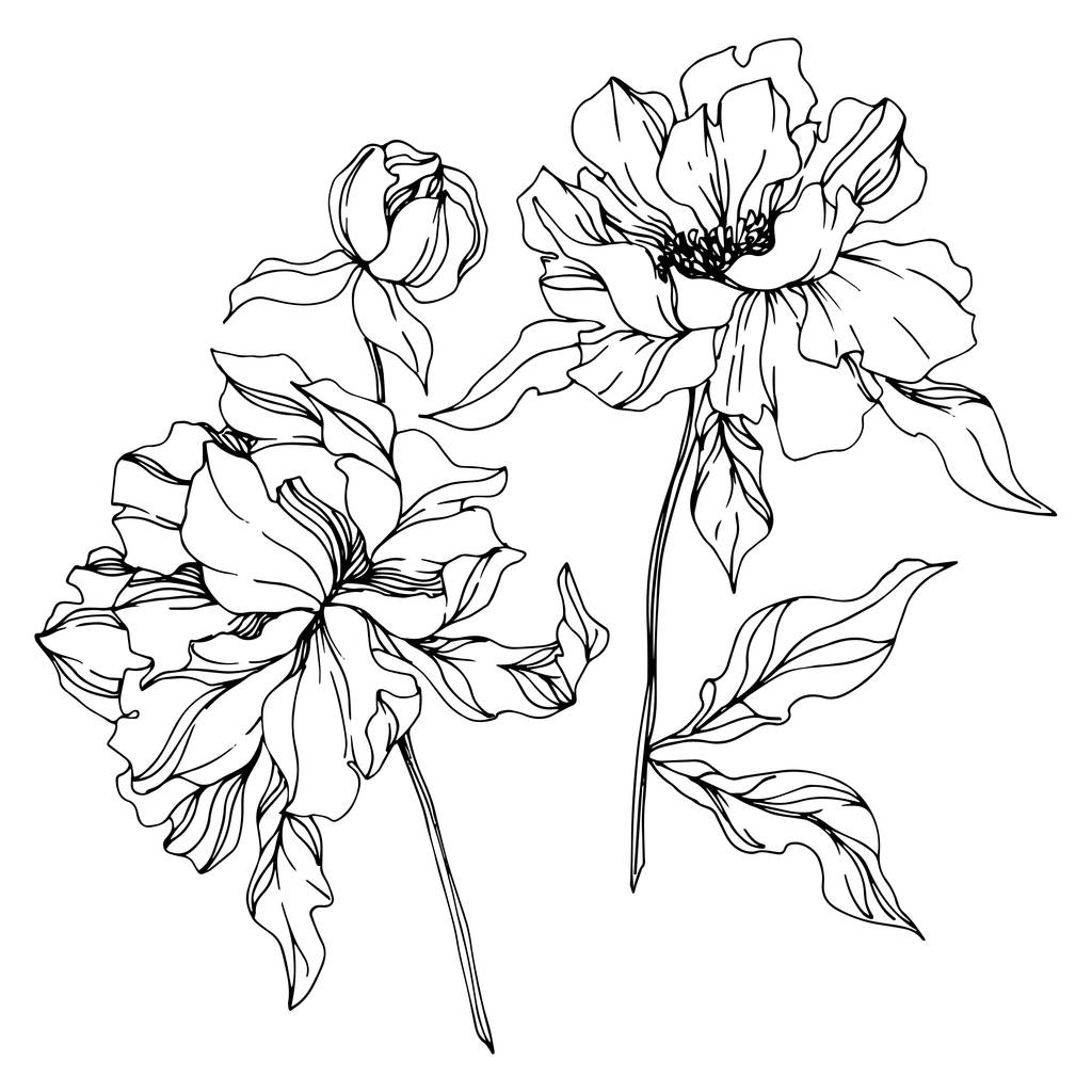Peony floral botanical flowers. Wild spring leaf wildflower isolated. Black and white engraved ink art. Isolated peonies illustration element on white background.
