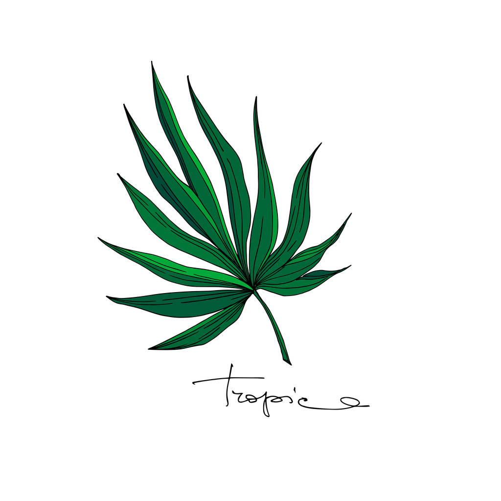 Vector Exotic tropical hawaiian summer. Palm beach tree leaves jungle botanical. Black and white engraved ink art. Isolated leaves illustration element.