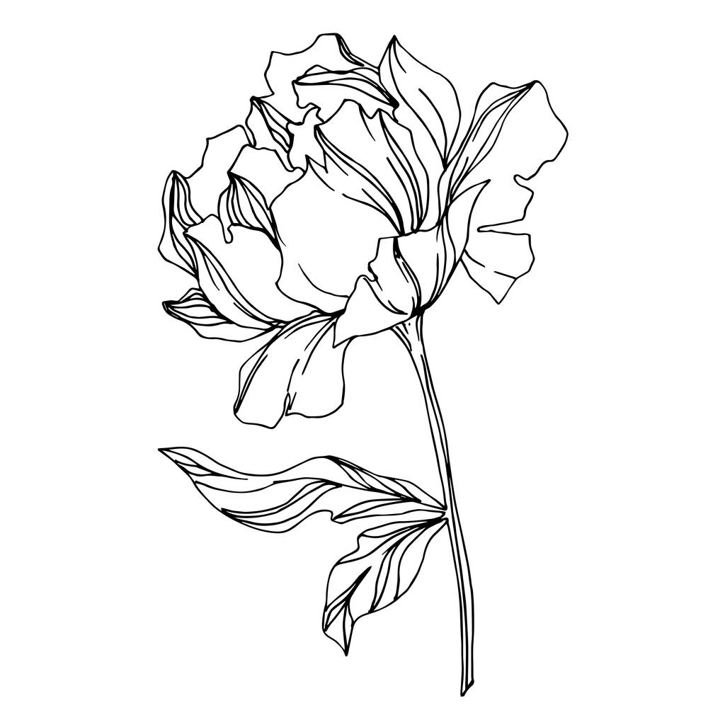 Vector Peony floral botanical flowers. Wild spring leaf wildflower isolated. Black and white engraved ink art. Isolated peonies illustration element on white background.