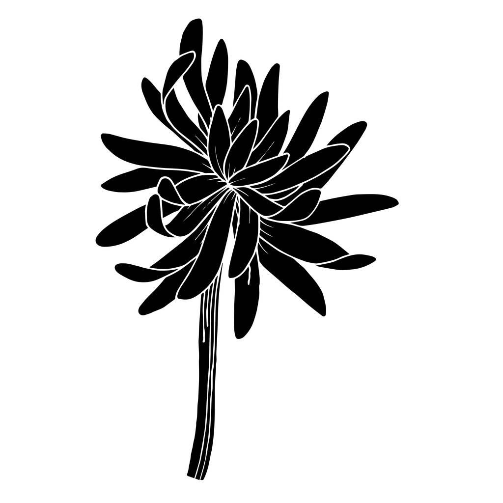 Vector Chrysanthemum floral botanical flower. Wild spring leaf wildflower isolated. Black and white engraved ink art. Isolated chrysanthemum illustration element.