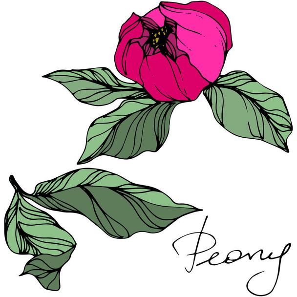 Vector Pink peony. Wildflower isolated on white. Engraved ink art with 'peony' lettering - Vector, Image