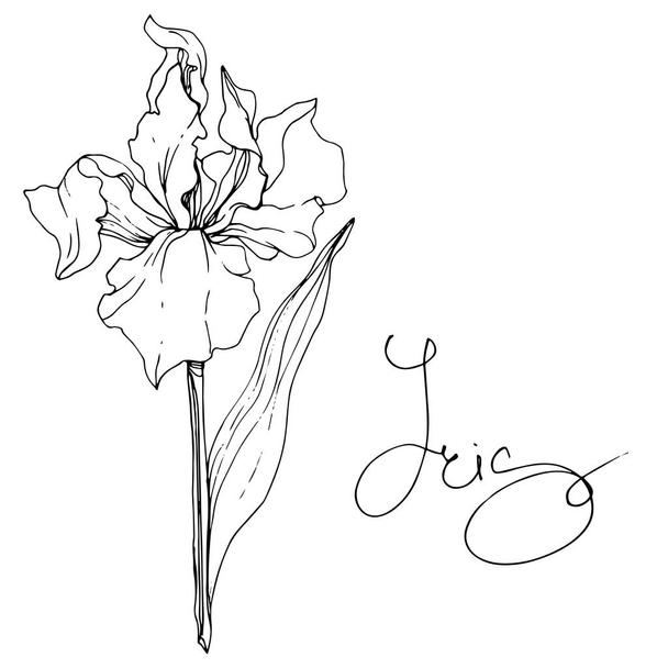 Vector Iris floral botanical flower. Wild spring leaf wildflower isolated. Black and white engraved ink art. Isolated iris illustration element. - Vector, Image