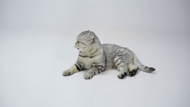 grey cat lying, licking, waving tail, moving head and runing away on white background - Footage, Video