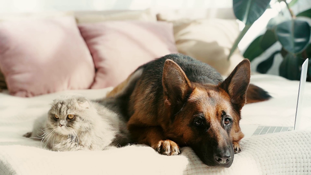slow-motion of cute purebred german shepherd dog and grey cat lying on bed and waving tails near laptop - Footage, Video