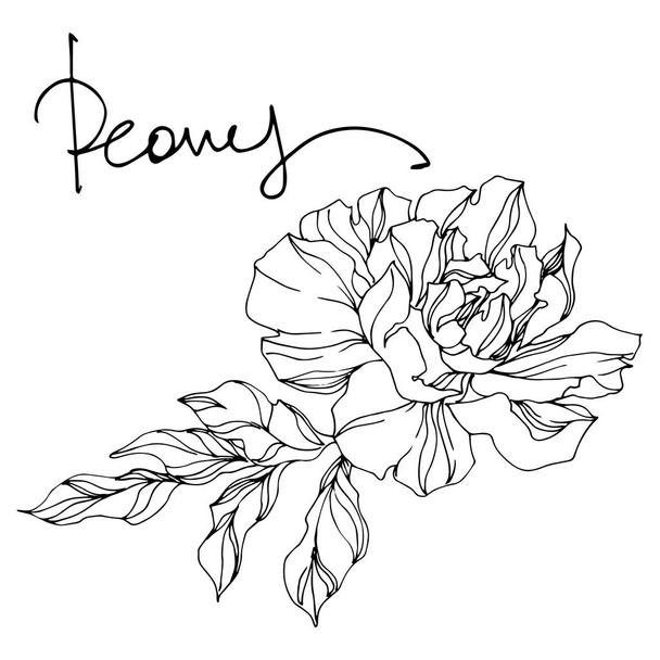 Peony floral botanical flowers. Black and white engraved ink art. Isolated peonies illustration element. - Vector, Image