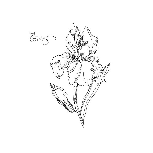 Vector Iris floral botanical flowers. Black and white engraved ink art. Isolated irises illustration element. - Vector, Image