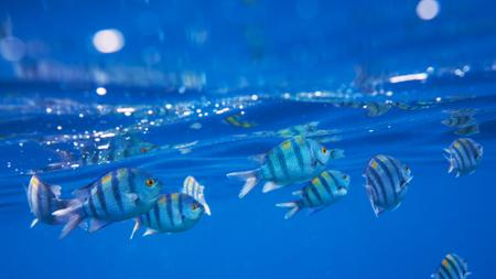 Plantilla de diseño de Striped Fish swimming Underwater Zoom Background
