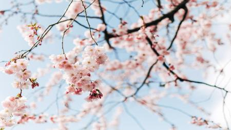 Beautiful Spring cherry blossom Zoom Background – шаблон для дизайна
