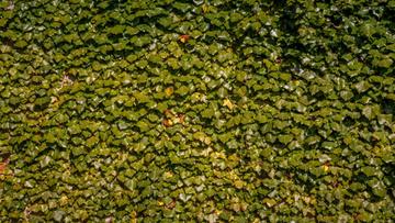 Lush weaving ivy