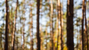 Unfocused view of Pine Forest