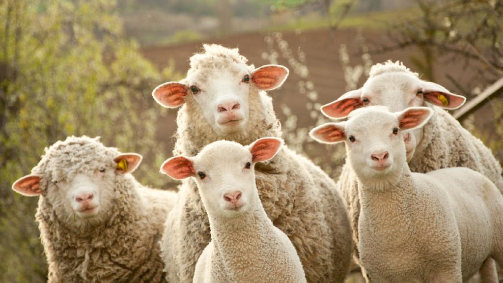 Cute Sheep on Farm — Створити дизайн