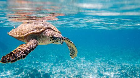 Plantilla de diseño de Wild Sea Turtle Swimming in Blue Zoom Background
