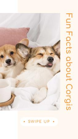 Fun Facts about Corgis with Cute Puppies Instagram Story Modelo de Design